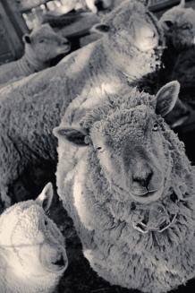 Clos Pepe Vineyards Sheep