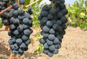 garnacha grapes