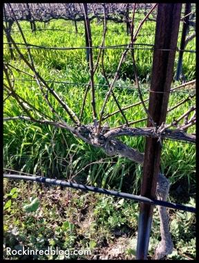 Clos Pepe Pinot vines