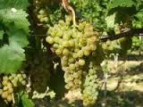 Ezerjo grape