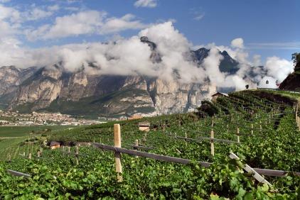 Mezzacorona vineyards