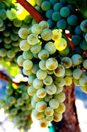 Semillon grape