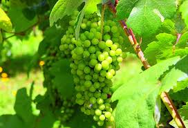 Vinho Verde grape