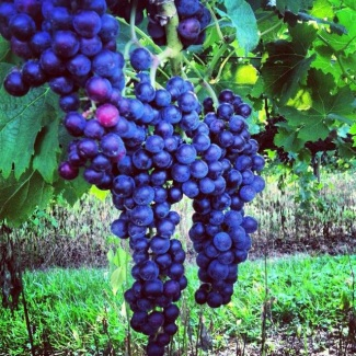 Merlot grapes growing in Breaux Vineyards.