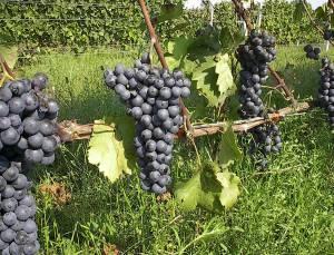 Central market agiorgitko grape