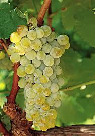 Central Market assyrtiko grapes