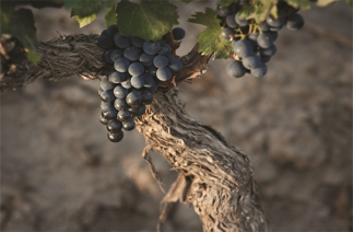 Rutini Malbecs Malbec grapes from Wines of Argentina web site