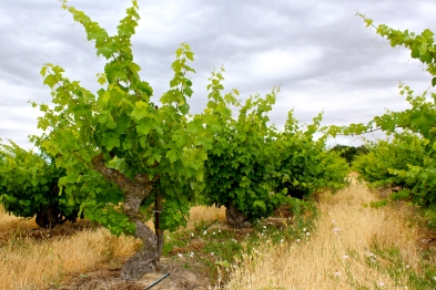 Scmiedt Ranch a.k.a. Dairy Vineyard
