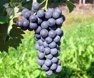 Sagrantino grapes via wine-searcher.com