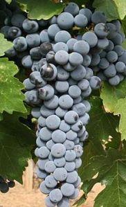 Cabernet Day 2015 grapes
