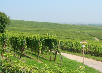 Trimbach vineyard Alsace 2