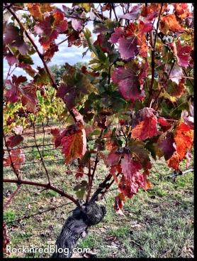 Boscarelli vines