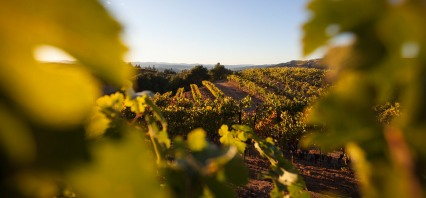 Home to our Mountain Winery, Alexander Valley is one of the largest appellations in Sonoma County, with a diversity of soil and climate unequaled in any other region.