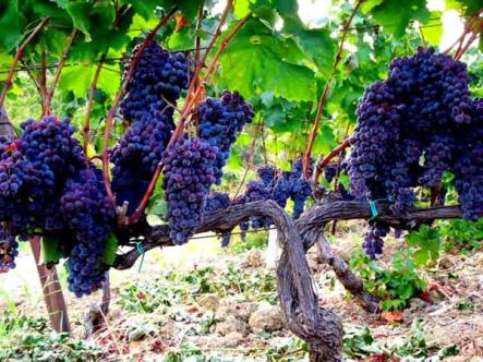 Calabria Gaglioppo grapes via Du Cropio