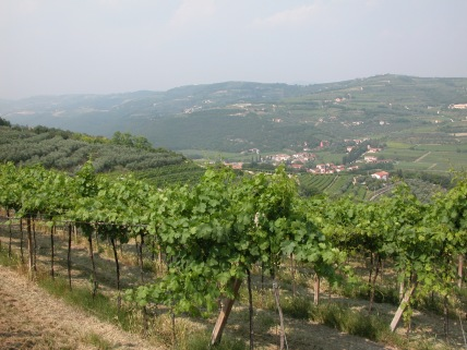 Sartori vineyards