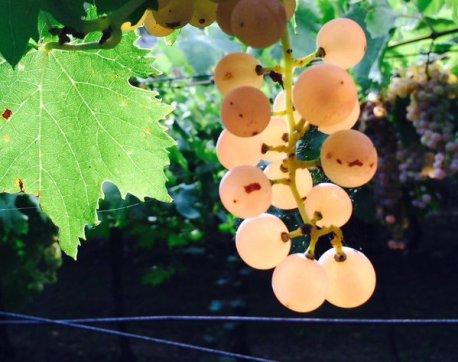 Soave Garganega grapes via Twitter