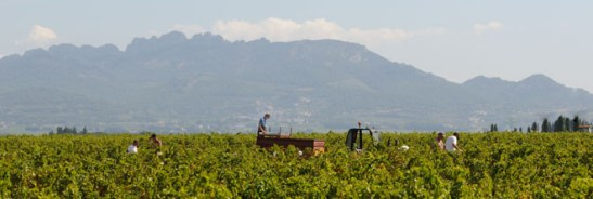 Domain Boisson Grape Harvest Southern Rhone Valley