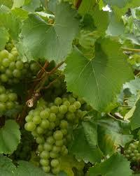 Loire Valley melon de bourgogne grapes