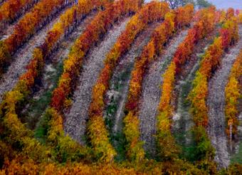 Boeri vineyards