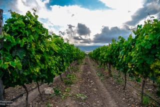 cantina ariano vineyards