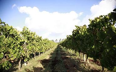 cantina di mogoro vineyards