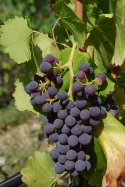 grenache noir grapes