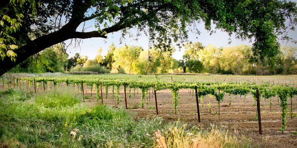 lodi vineyards