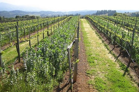 Muscardini vineyards