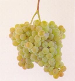 rias baixas albarino grapes