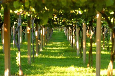 Rias Baixas vineyard pergolas
