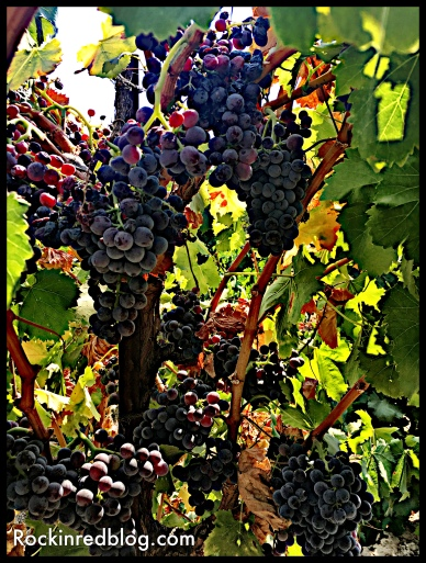 Grenache rouge grapes growing in Acquiesce vineyard