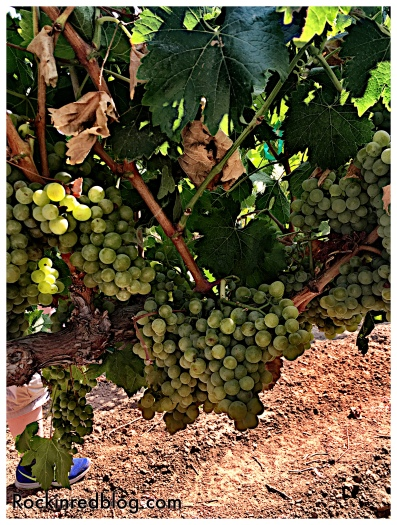Picpoul grapes in Acquiesce vineyard