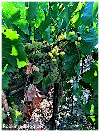 Viognier grapes in Acquiesce vineyard