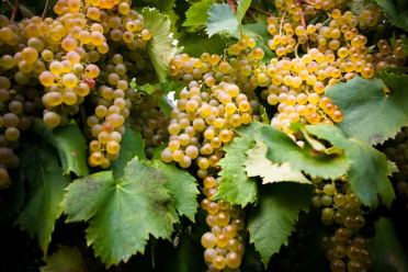 garganega grapes soave
