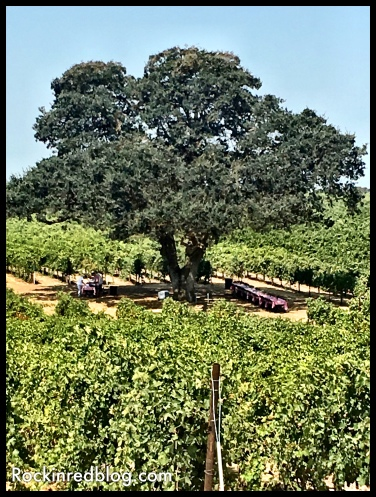 Lunch under this beautiful tree in the Bokisch Vineyards.