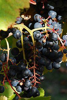 tannat grapes