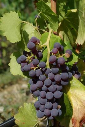 grenache-noir-grapes