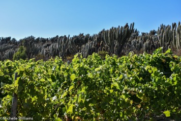 Vina Tabali desert vineyards in Limari, Chile.